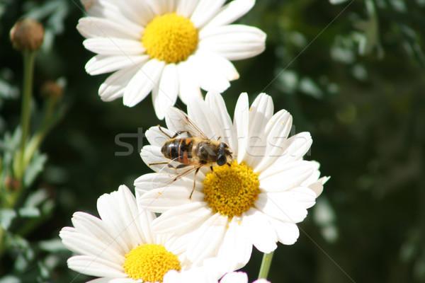 Méh százszorszép háziméh kert virág természet Stock fotó © rhamm