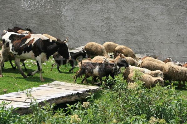 Koeien schapen geiten kudde lopen boeren Stockfoto © rhamm