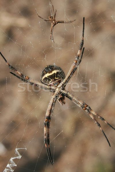 Pair of Spiders on a Web Stock photo © rhamm