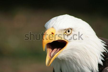 Chauve aigle extérieur oiseau Photo stock © rhamm