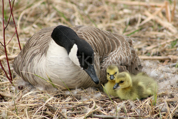 Canada Goose and Two Goslings Stock photo © rhamm
