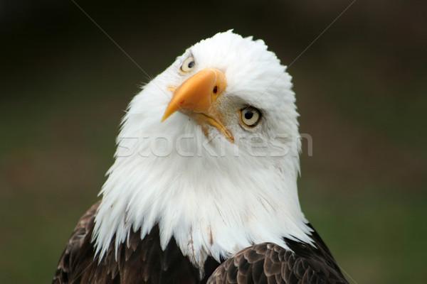 Curious Bald Eagle Stock photo © rhamm