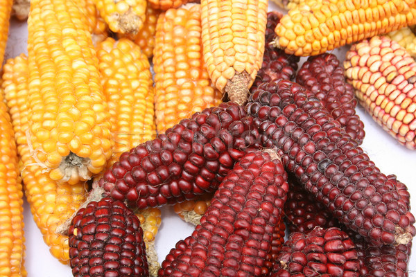 Multicolored Ears of Corn Stock photo © rhamm