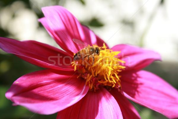 Méh lila virág háziméh virágoskert kert levelek Stock fotó © rhamm