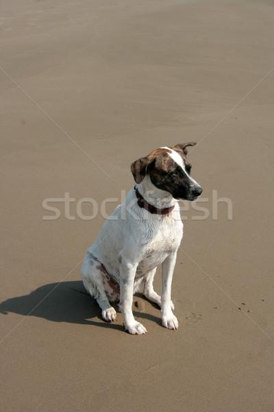 Marrom branco cão praia sessão Foto stock © rhamm