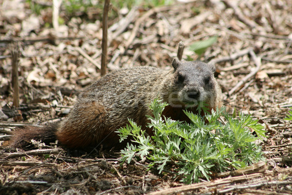 Ground Hog Eating Plants Stock photo © rhamm