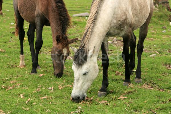 Paarden boeren veld natuur boerderij dier Stockfoto © rhamm