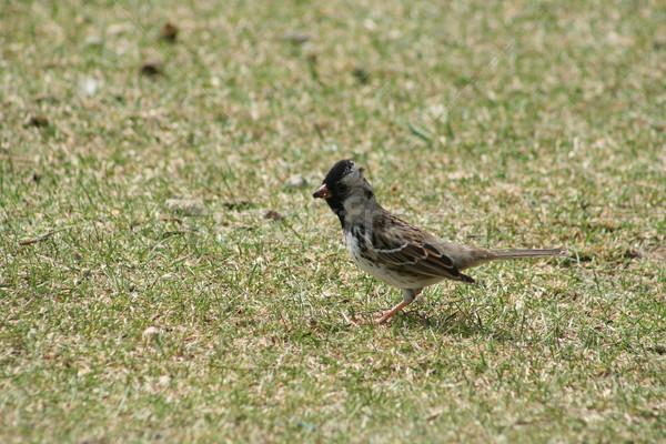 スズメ 草 立って フィールド 春 ストックフォト © rhamm