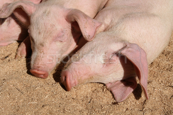 Jóvenes cerdos suelo aire libre vivir animales Foto stock © rhamm