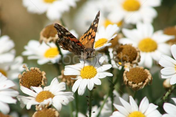 Moth on a Daisy Stock photo © rhamm