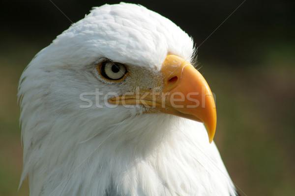 Bald Eagle Stock photo © rhamm