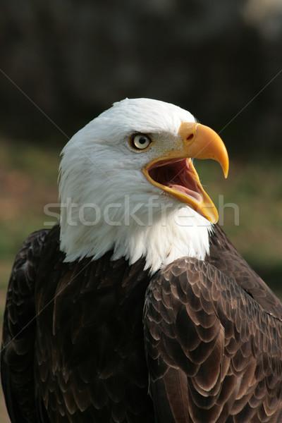 Male Bald Eagle Chirping Stock photo © rhamm