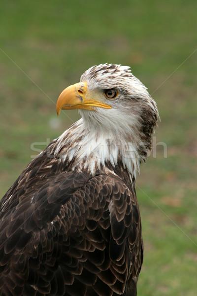 Female Eagle Stock photo © rhamm