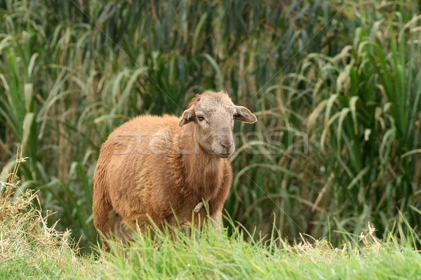 Sheep in a Pasture Stock photo © rhamm