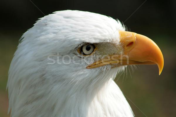 Face of a Male Bald Eagle Stock photo © rhamm