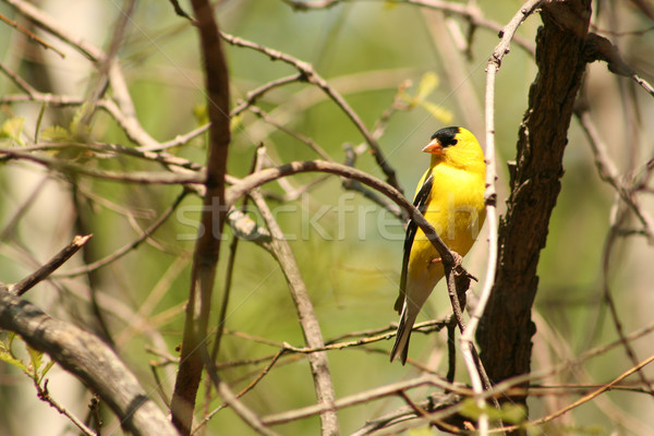 American Goldfinch Perched on a Tree Branch Stock photo © rhamm