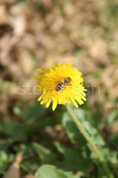 Bee Pollinating a Dandelion Stock photo © rhamm