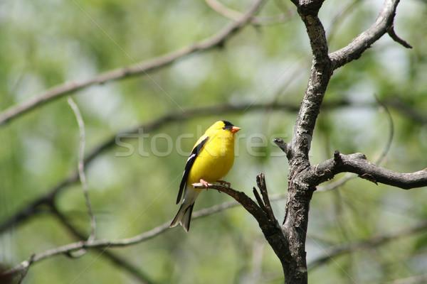 American Goldfinch on a Tree Branch Stock photo © rhamm
