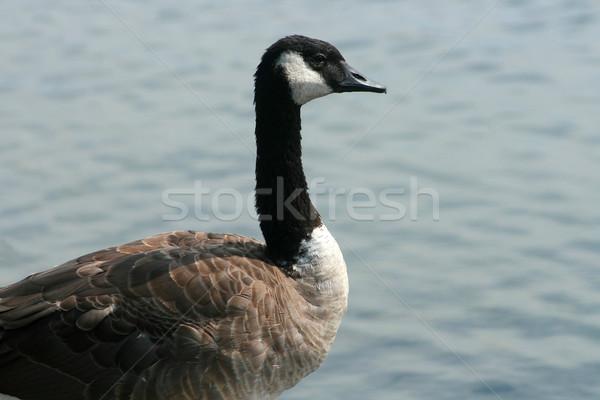 Goose Next to a Lake Stock photo © rhamm