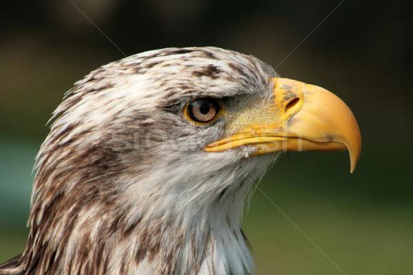 Kadın kel kartal amerikan açık kuş Stok fotoğraf © rhamm