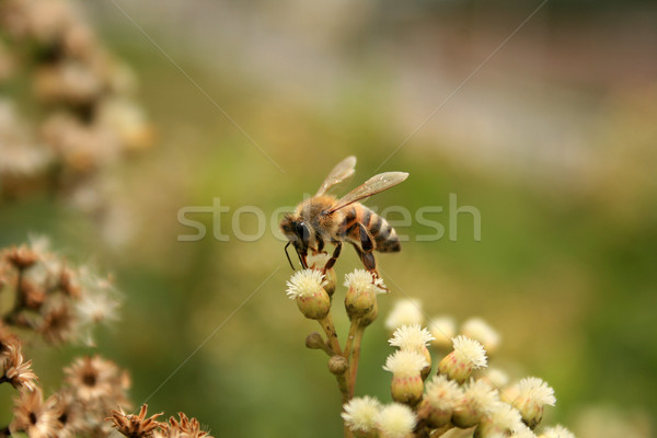 Abeja Bush miel de abeja flor naturaleza volar Foto stock © rhamm