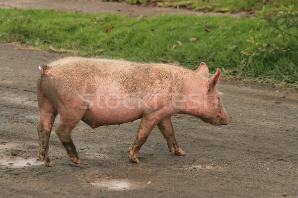 Free Range Pig Crossing Road Stock photo © rhamm