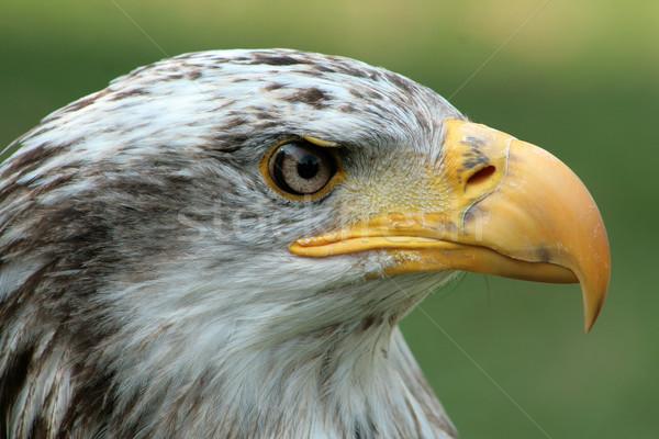 Cabeza femenino calvo águila americano aire libre Foto stock © rhamm