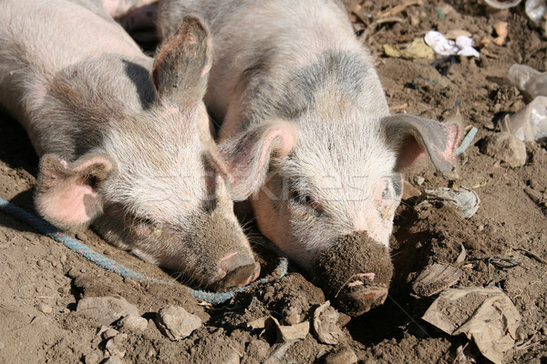 Porcos lama jovem parede ao ar livre viver Foto stock © rhamm
