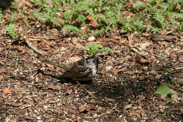 Harris Sparrow Collecting Seeds Stock photo © rhamm