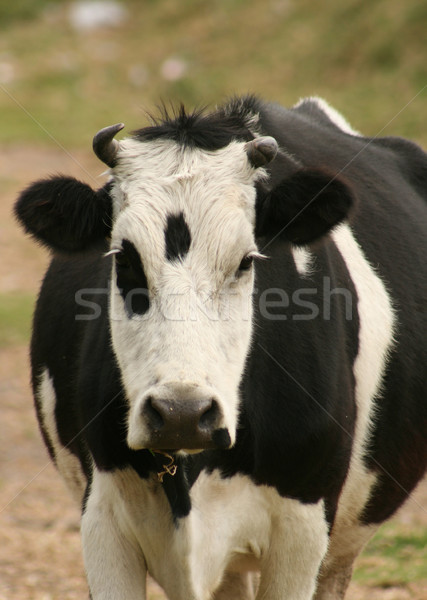 Cow Looking Straight Ahead Stock photo © rhamm