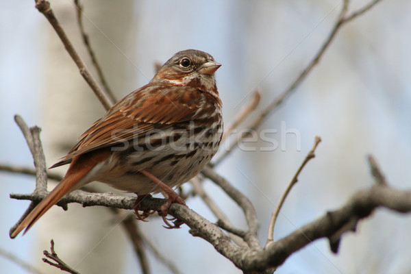Song Sparrow on a Branch Stock photo © rhamm