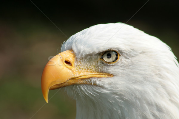 Stock photo: Bald Eagle Watching