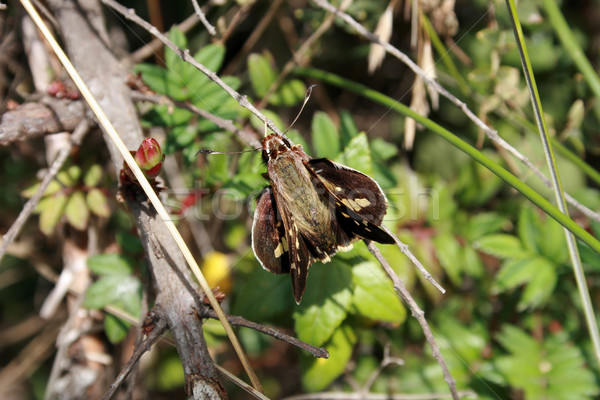 Green and Brown Moth on a Stick Stock photo © rhamm