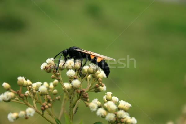 Large Bee Stock photo © rhamm