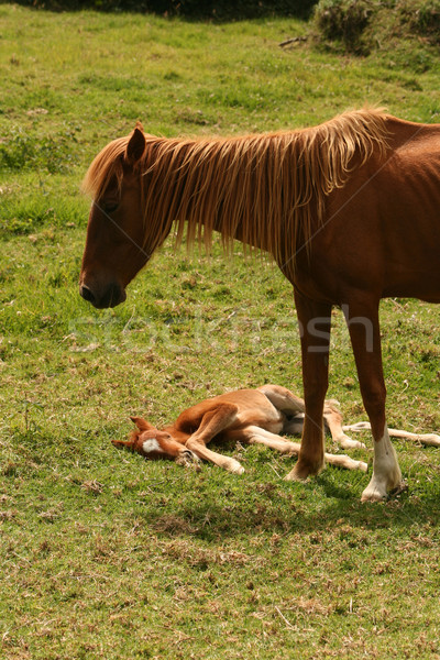Mare and Colt Stock photo © rhamm