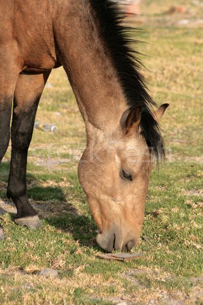 Brown Stallion Grazing Stock photo © rhamm