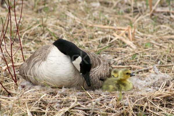 Vrouwelijke Canada gans kijken nest voorjaar Stockfoto © rhamm