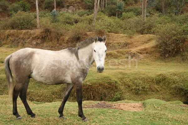 Cinza cavalo prado agricultores natureza Foto stock © rhamm