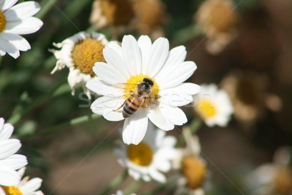 Bee on a Flower Stock photo © rhamm