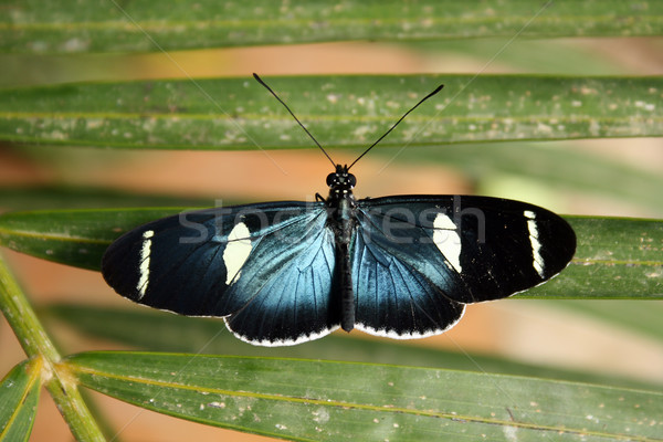 Blue Butterfly on a Leaf Stock photo © rhamm