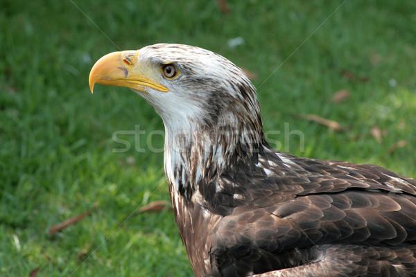 Female Immature Bald Eagle Stock photo © rhamm
