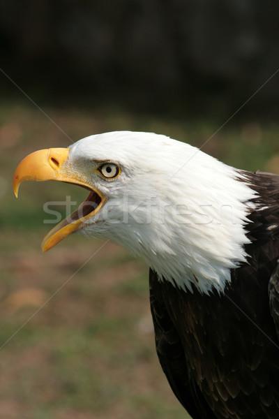 Bald Eagle Chirping Stock photo © rhamm