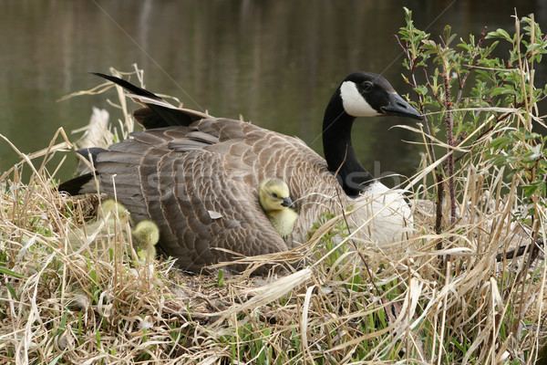 Canada Goose With Gosling Nestled Under a Wing Stock photo © rhamm