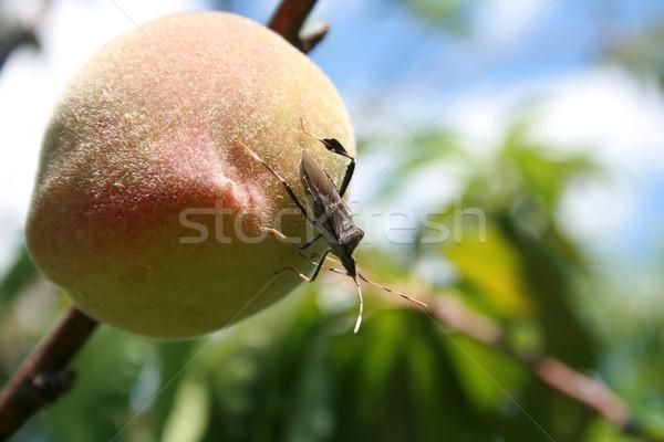Inseto pêssego voador em pé jardim Foto stock © rhamm
