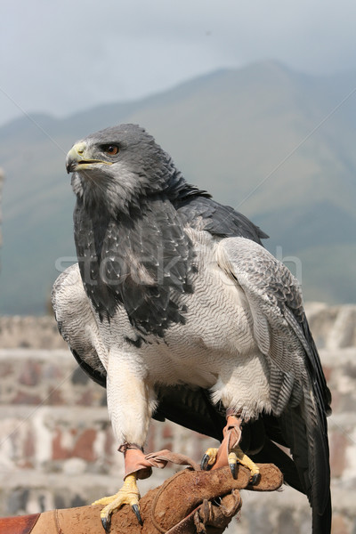 Black Chested Buzzard on a Glove Stock photo © rhamm
