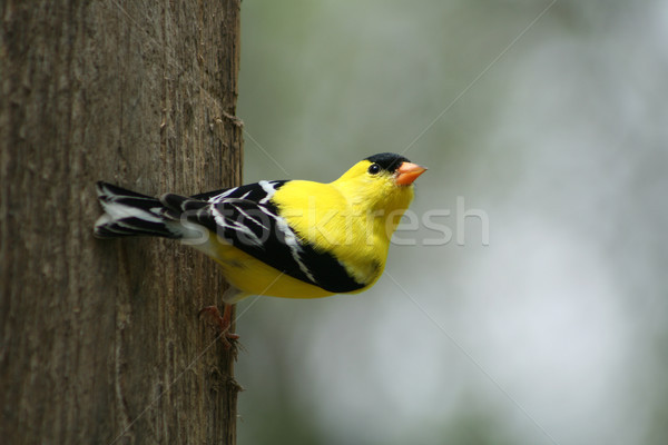 American Goldfinch Alert and Watching Stock photo © rhamm