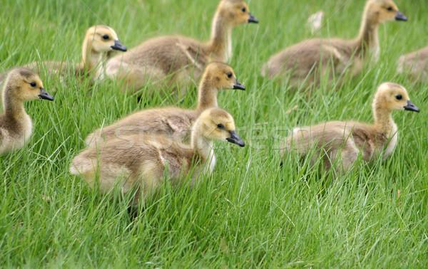 Canadá gansos jovem atravessar prado primavera Foto stock © rhamm