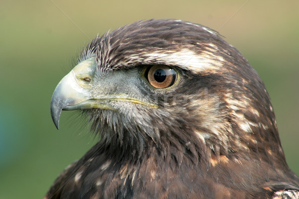 Harris Hawk Watching Stock photo © rhamm