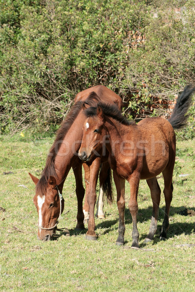 Brown Mare and Colt in a Meadow Stock photo © rhamm