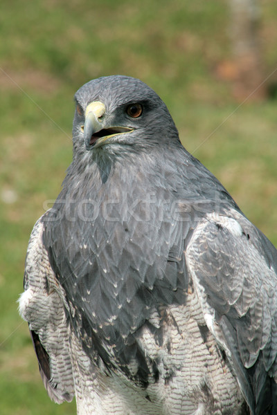 Black Chested Buzzard Eagle Stock photo © rhamm